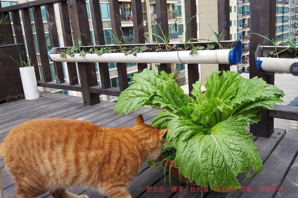 自己从土里长出来的一棵青菜,还有我的禅虎。