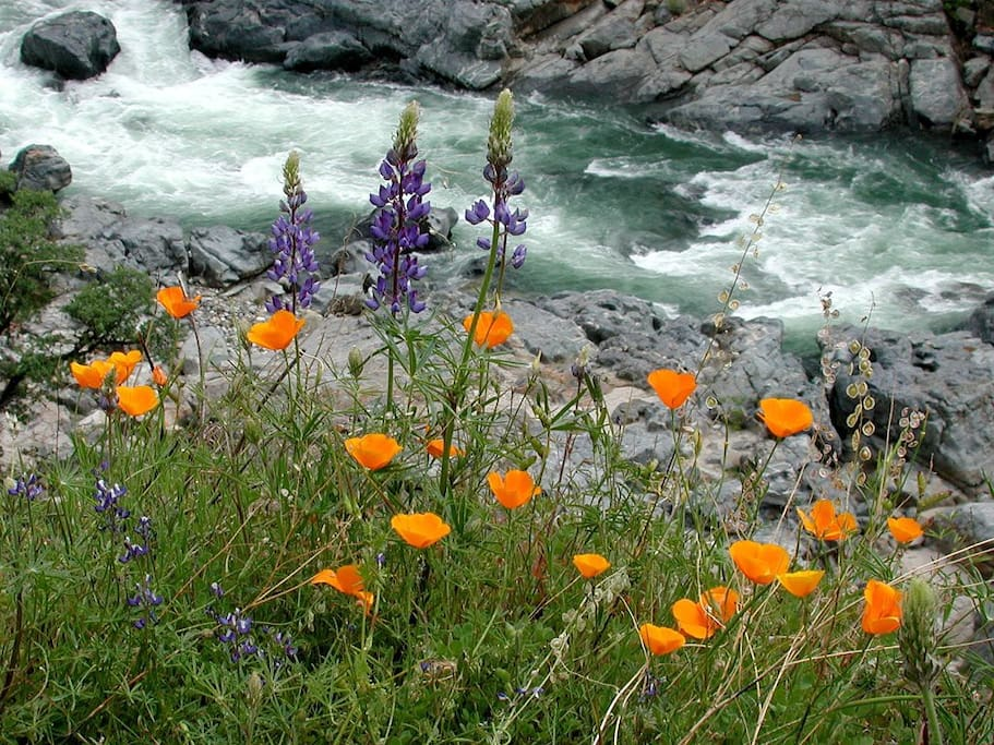 Wildflowers at Bridgeport on the Yuba.