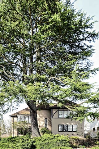 Tree is emblematic of the age/size of old growth deciduous and conifer trees in the neighborhood.