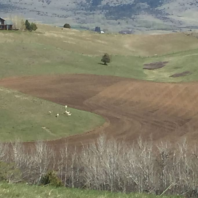 Rolling hills, grain fields and antelope