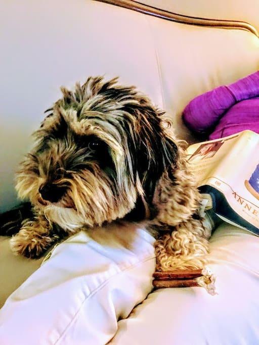 Hank, the friendly little house guard dog