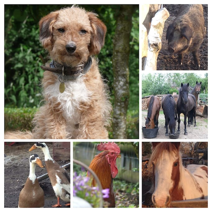 'Tigga' the Jackapoo  'Teasel' the pig Our New Forest Ponies  'Honey' the coloured cob Duck and the cockerel