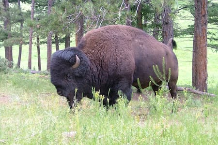 The Bison House! - Golden