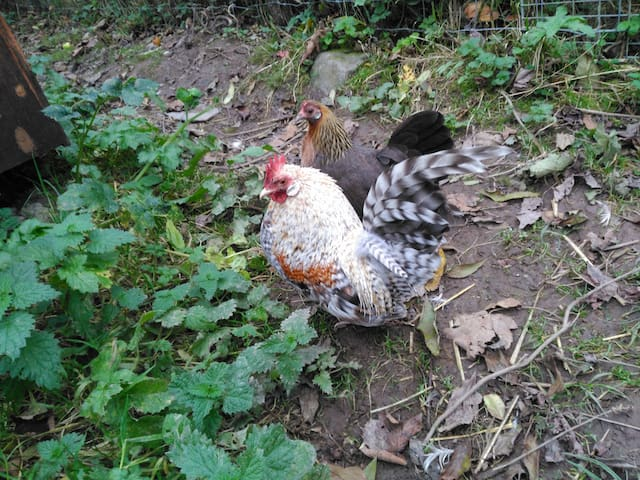 Some of our beautiful fowl