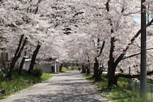 Cherry blossoms from mid April to early May 4月中旬から5月上旬が桜の見頃