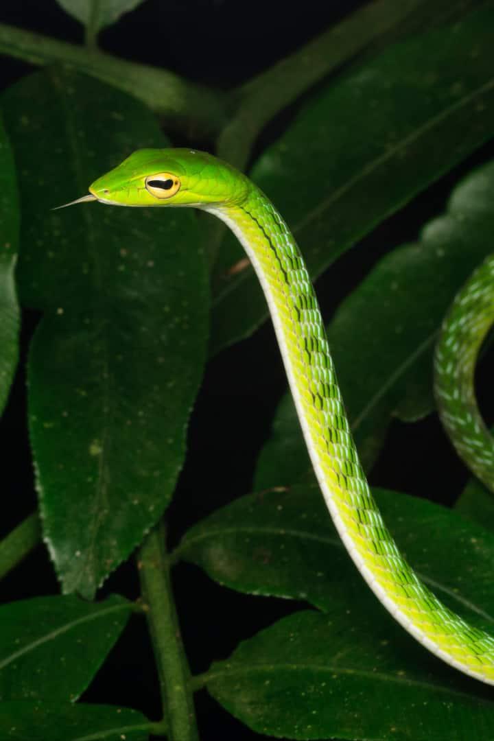Malayan Whip Snake (A. mycterizans)