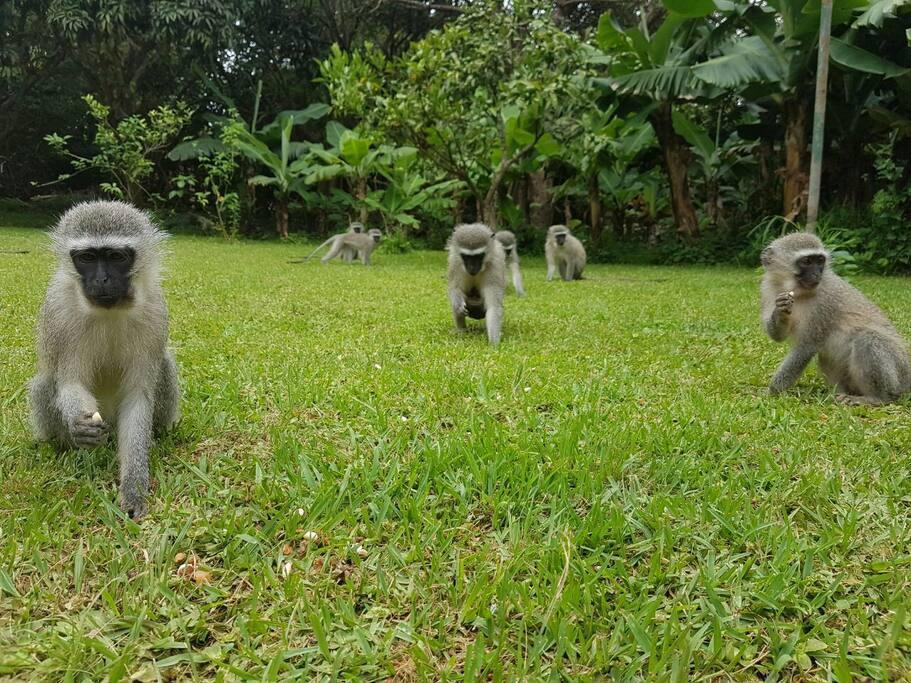 The monkey's