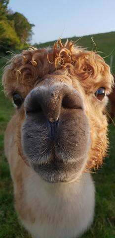 Meet 'Honey', one of our 11 alpacas. Our alpacas are friendly enough to walk with in the same paddock. Some you can even cuddle. Try hand feeding them while you're here.