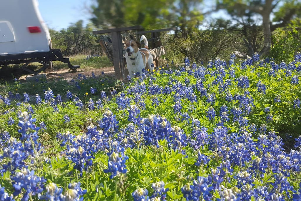 Bluebonnet patch is glorious during the spring.  Ranger knows that these are the TX state flowers.