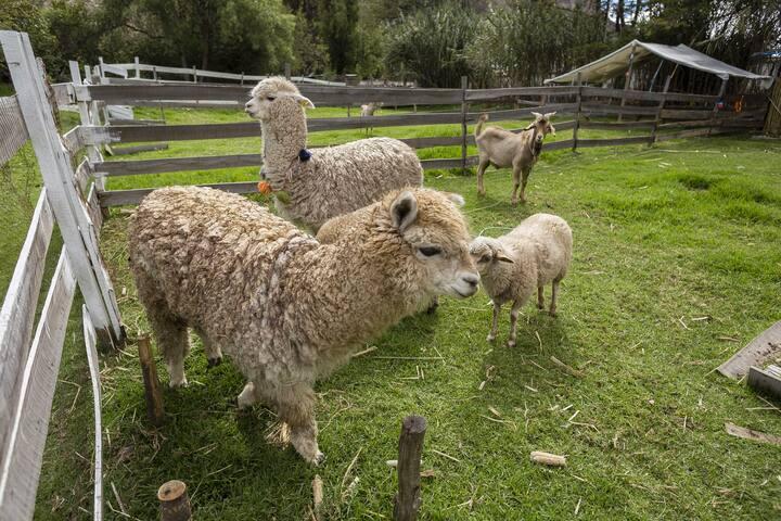 Tenemos una minigranja que cuenta con animales de la zona como Alpacas, ovejas, etc.
