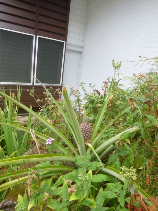 Our pineapple in the front yard