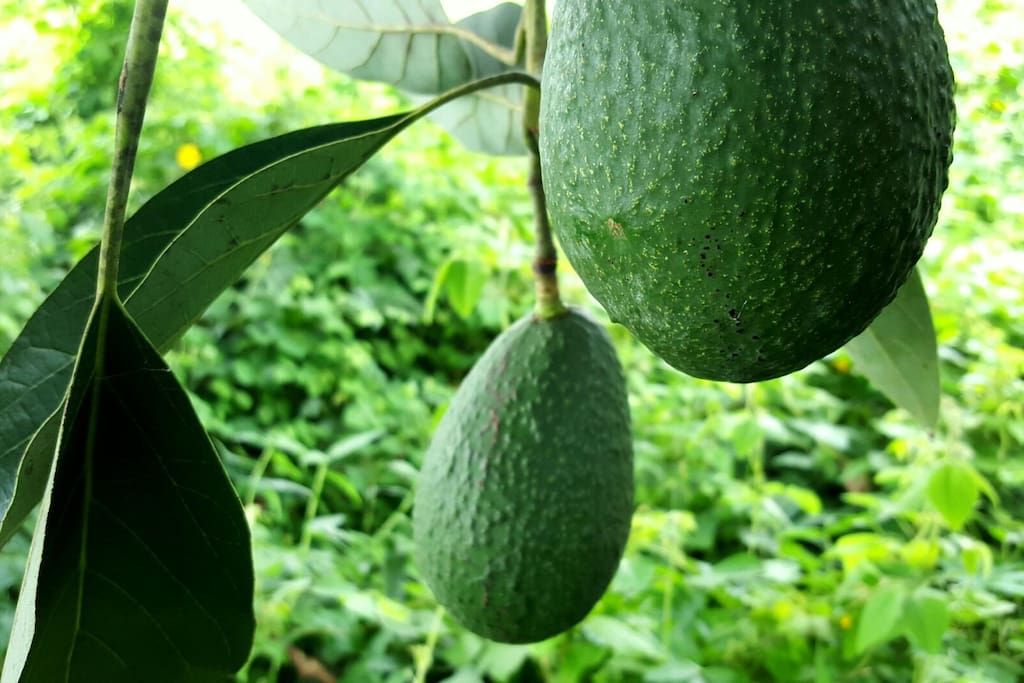 Over 5 acres of avocado and macadamia nut trees to explore and find the perfect one!