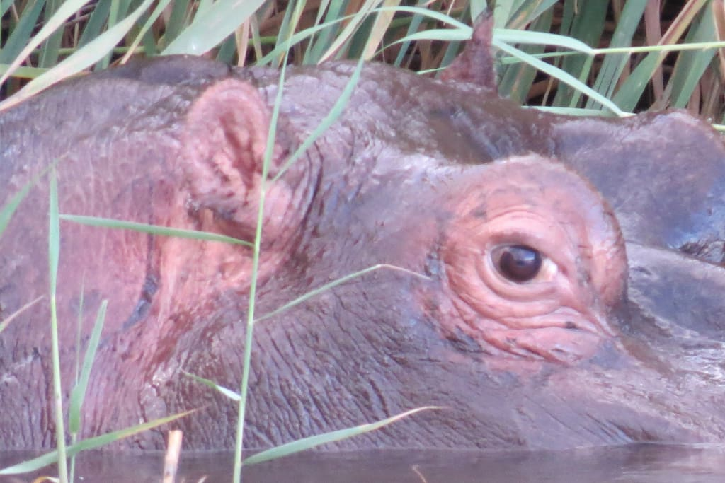 only hippos in Northern Cape on my Farm , sun downer trips to see them