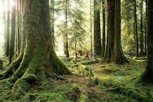 Venture into the moss covered Hoh rain forest in Olympic National Park.