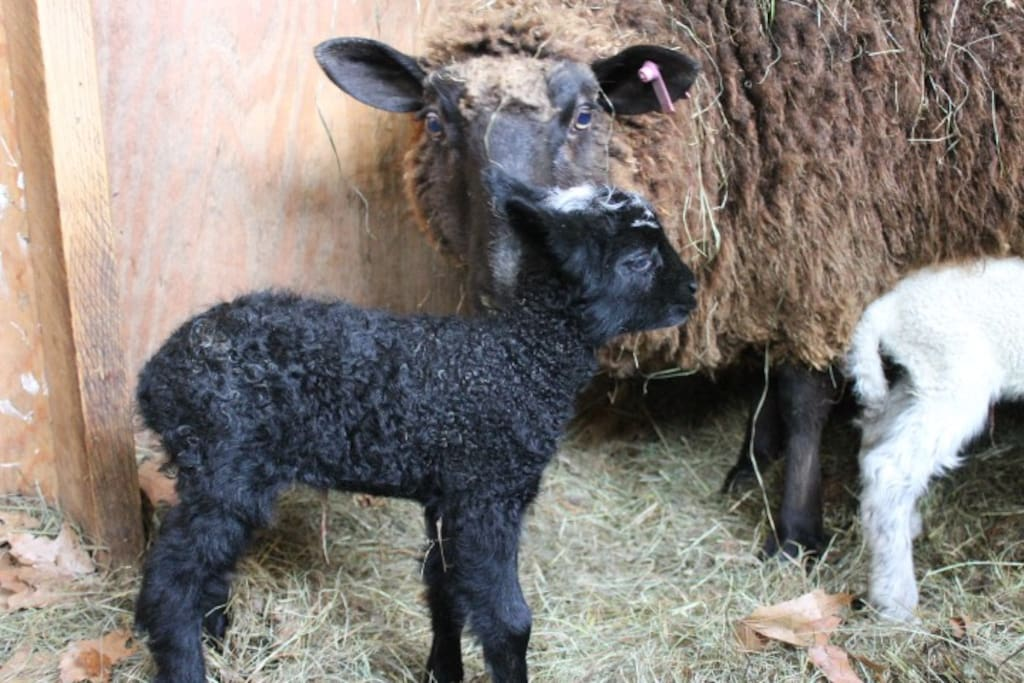 Spring time at Hamilton Farm ~ Babies!