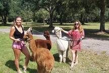 Taking a walk with the alpacas