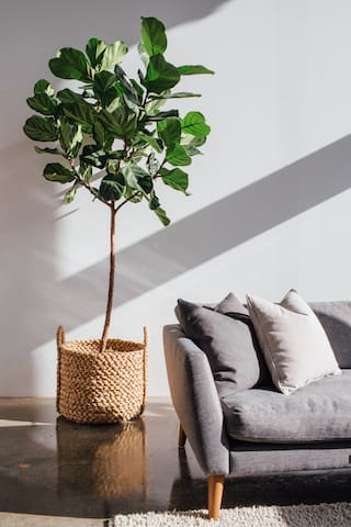 A fiddle leaf fig tree warms the raw, industrial space.