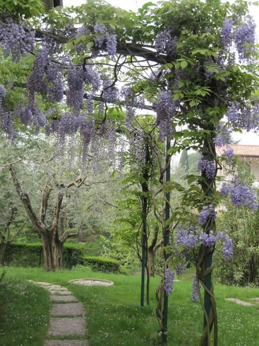 giardino con glicine in fiore