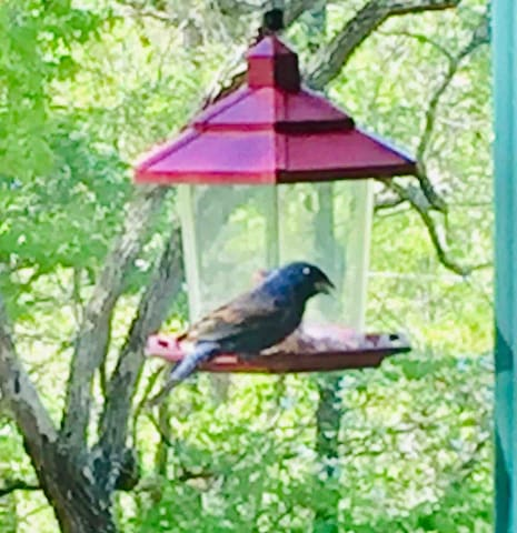 Americans  North American Blue Bird in my feeder.  Also nested out front in the bird house.