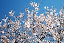 almendros en flor en enero y febrero en mallorca