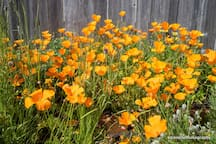 California Poppies!