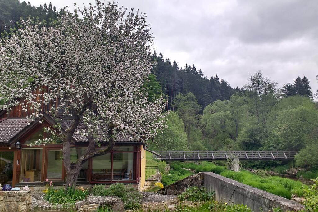 Apfelbaumblüte im Mai