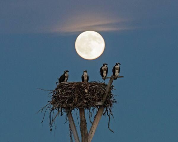 Osprey Family, Full Moon, Mashomack Preserve