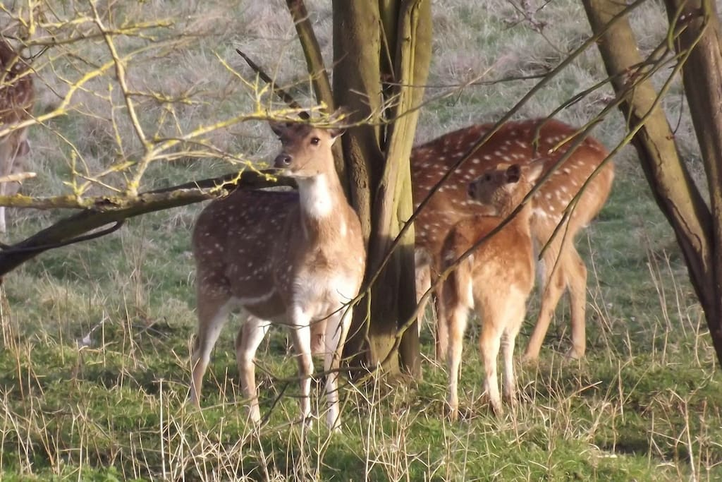 Deers from the bedroom window