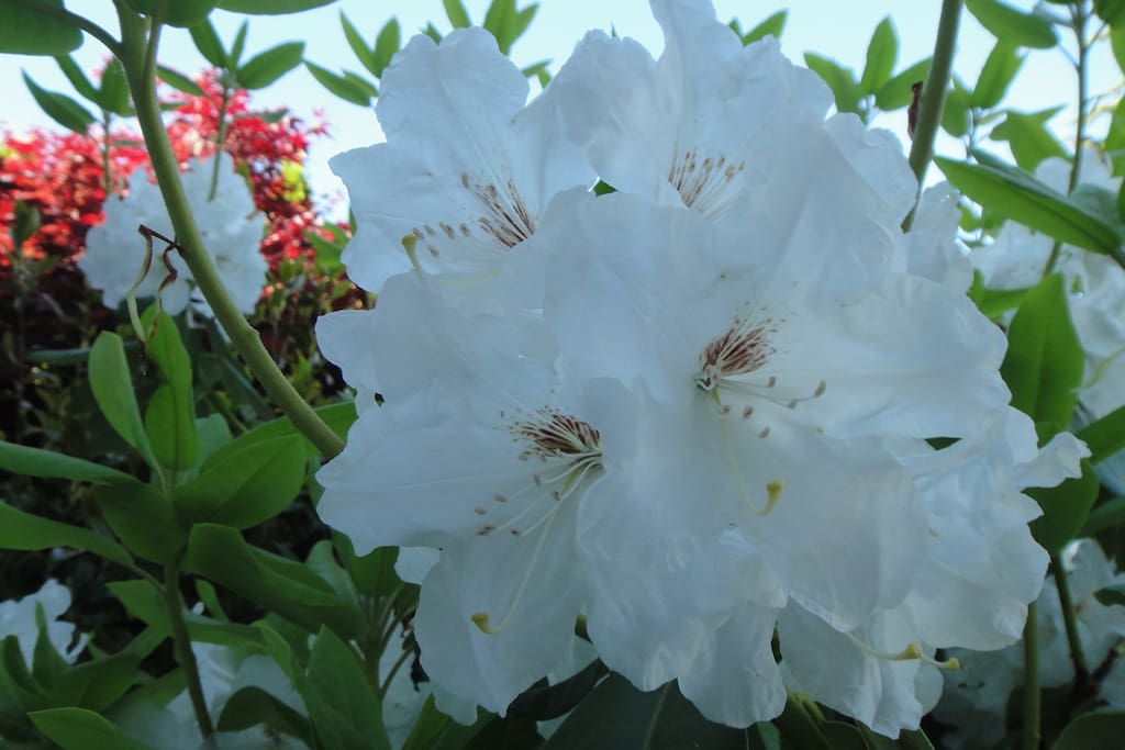 White rhododendron flowers are blooming during the Mather Days season