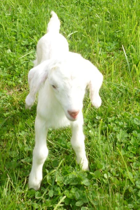Newbie Goat