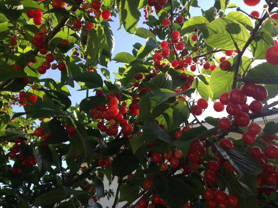 樱桃5月下旬成熟
