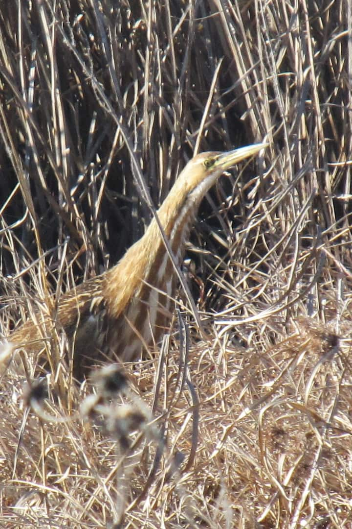 American Bittern at Yolo Bypass