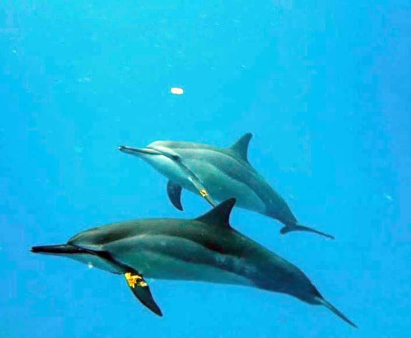 Dolphins playing the Leaf Game with us!