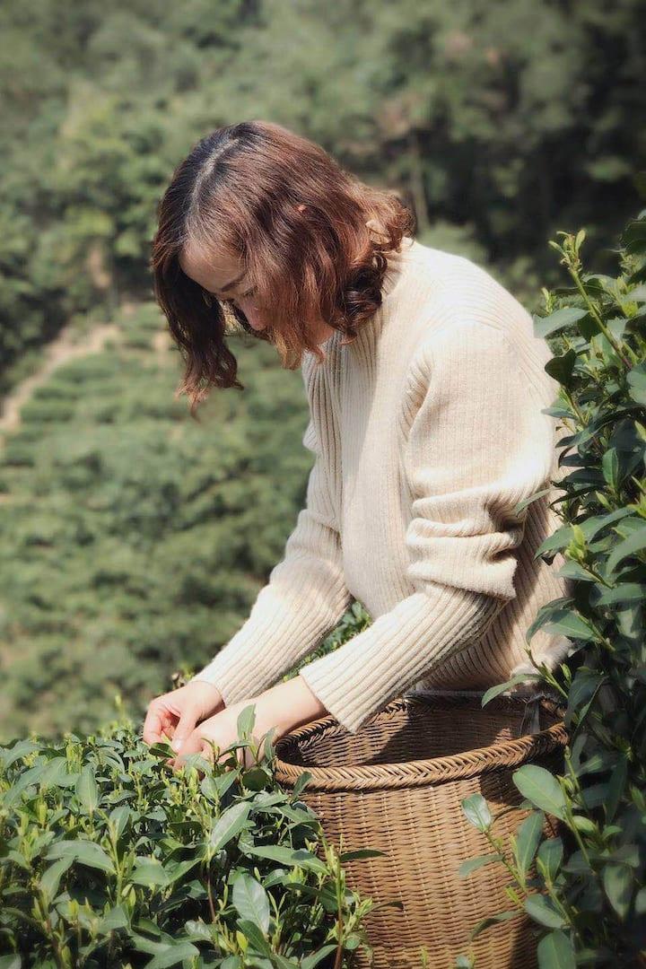 首先采取新鲜的西湖龙井茶叶