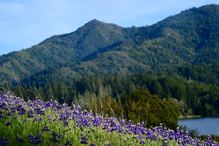 Lupine Bloom in front of Mt. Tam