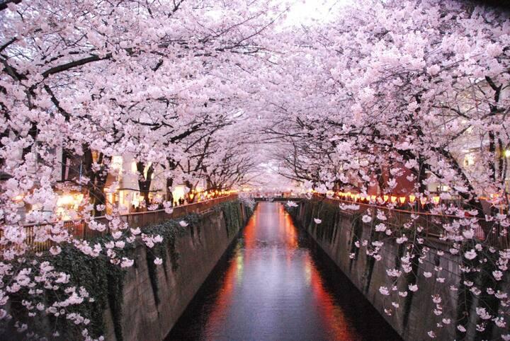 「Sakura」Meguro River~