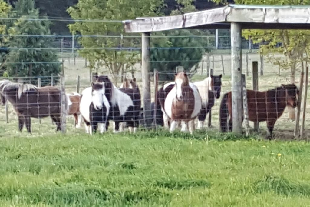 Miniature horses to admire and foals due between september - december