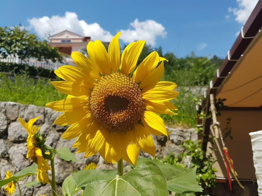 Our wonderful neighbor Marina grows beautiful flowers