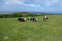 Cattle grazing freely on Bosigran.