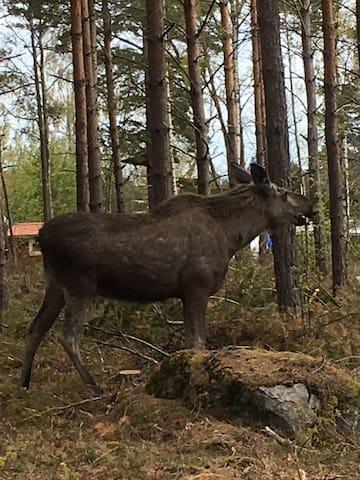 Älg och rådjur i naturreservatet, besök utanför husknuten inte ovanligt. Elk and roedeer in the neighbourhood.
