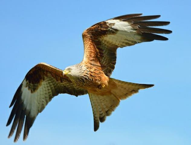 The emblem of mid-Wales - the Red Kite
