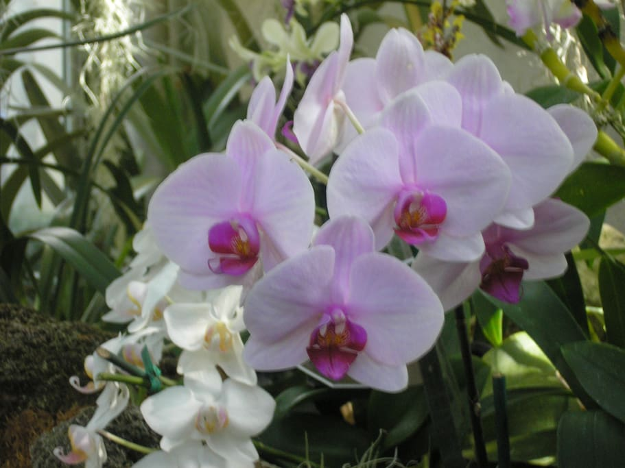 My orchids are flowering now.