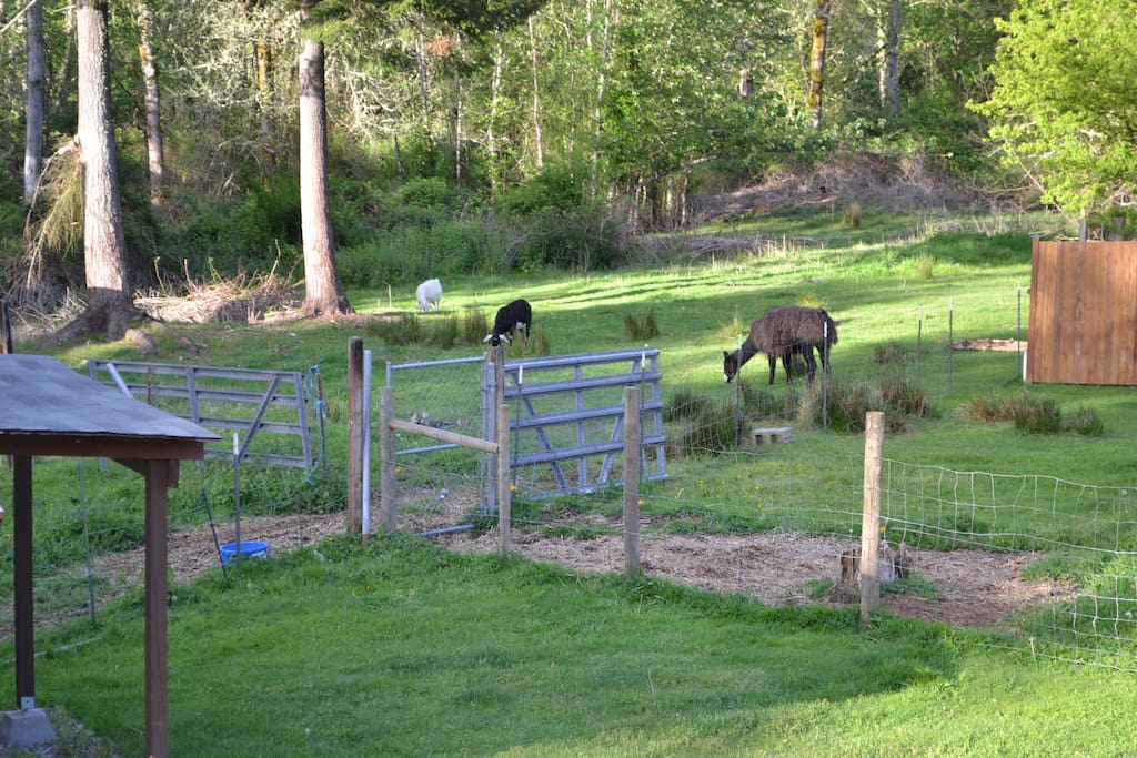 View from back window.  Willy and the goats.