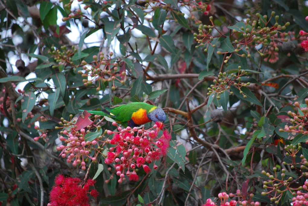 Rainbow lorikeets in the flowering gum.