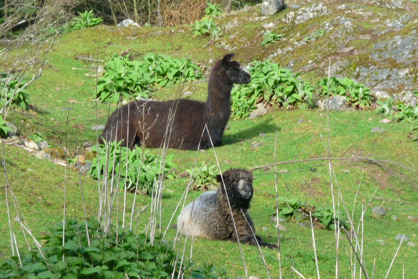 Andy our Lama and Coko one of our Cotswold sheep