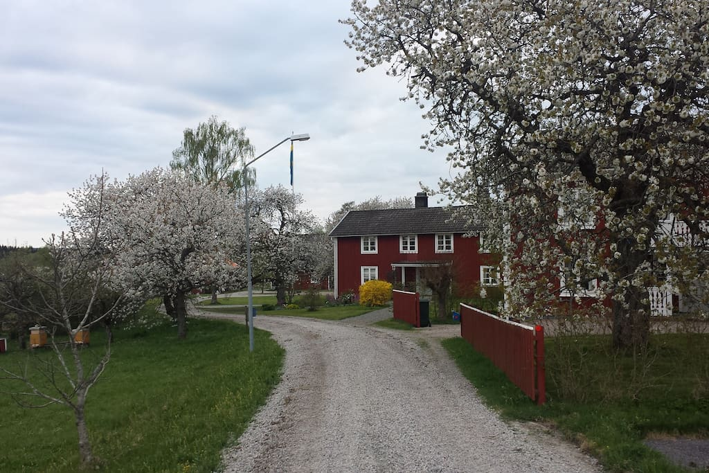 Our farm in may when the cherrys blossom a beautiful time of the year