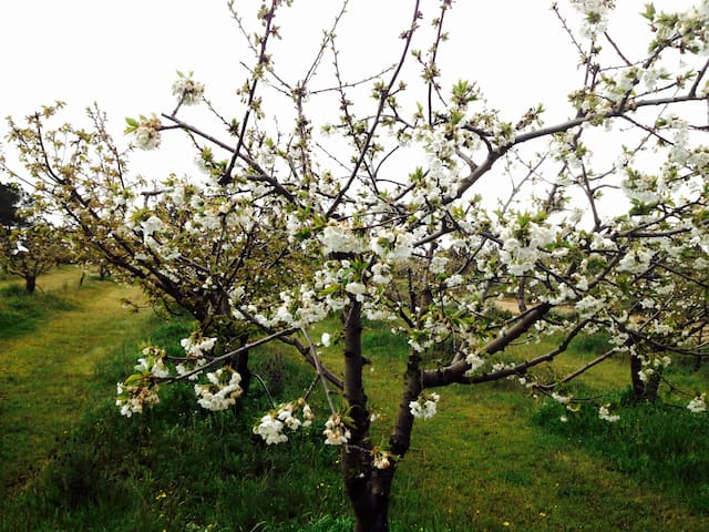 Cherry blossoms (April)