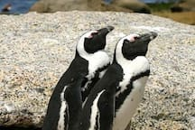 African penguins at Boulders beach, a mere 10 minute walk from the house!