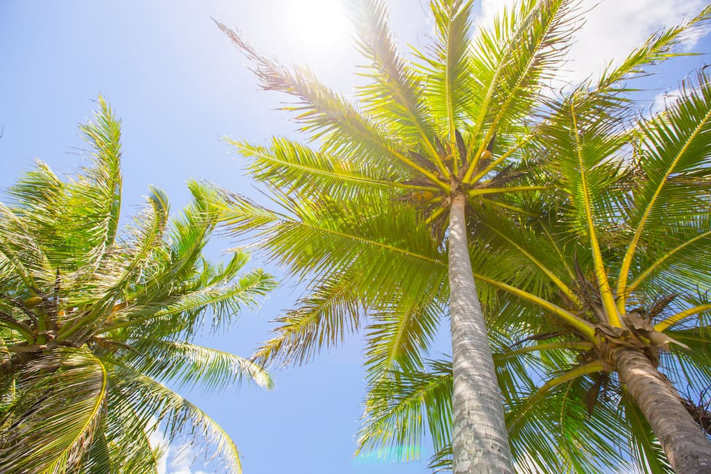 These Coconut Trees are part of what you see when you look out your door from the cottage.