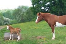 My welsh ponies graze the fields as you drive through my gated land towards the Garden Cottage.